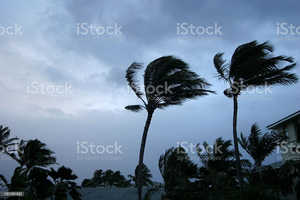Hurricane or tropical storm wind buffeting palm trees stock photo