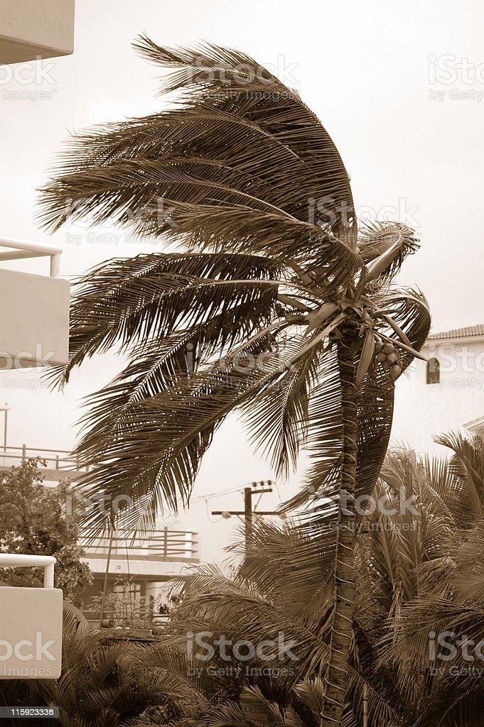 Hurricane Palm  3 Sepia royalty-free stock photo