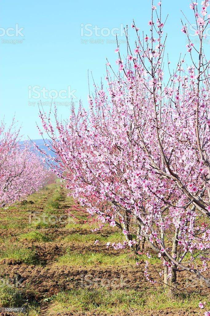 Hurst of peach blossom stock photo