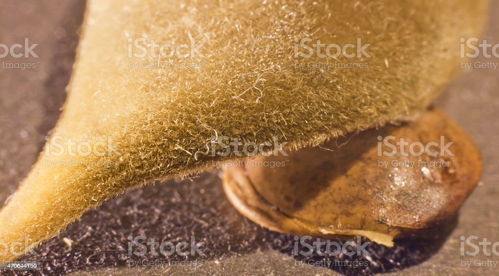 Husk and seed.. stock photo