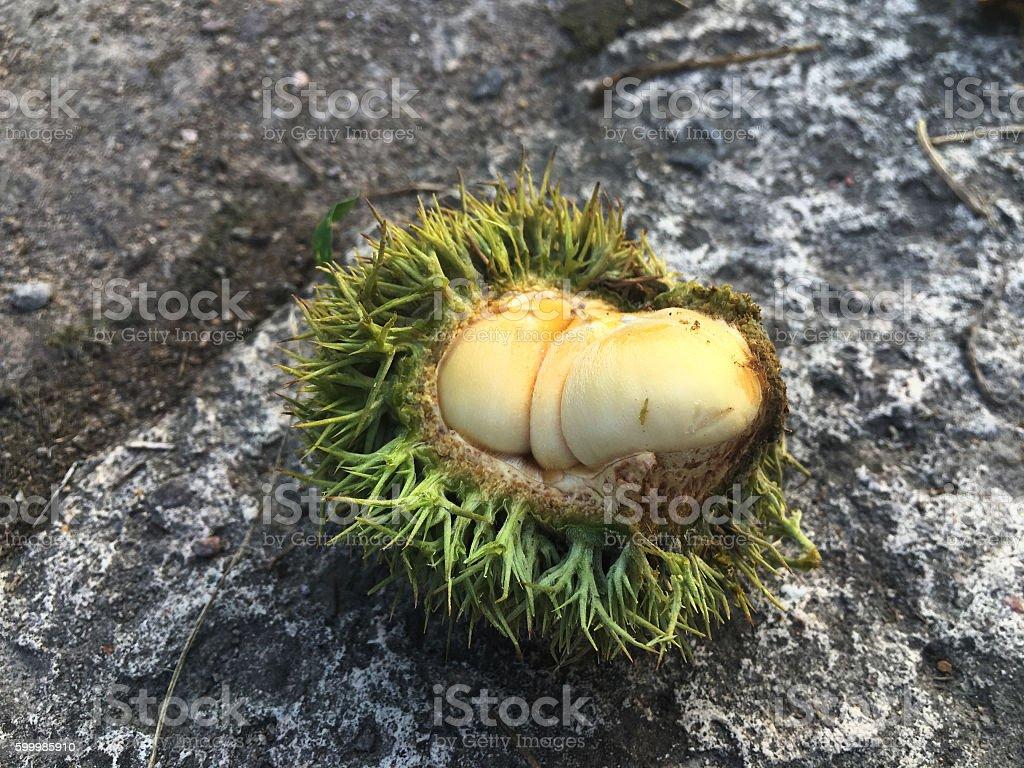 husked chestnut stock photo