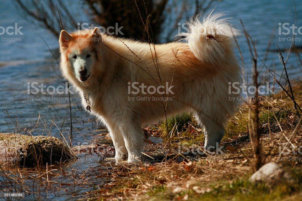 Huskey Alaska dog near the water stock photo