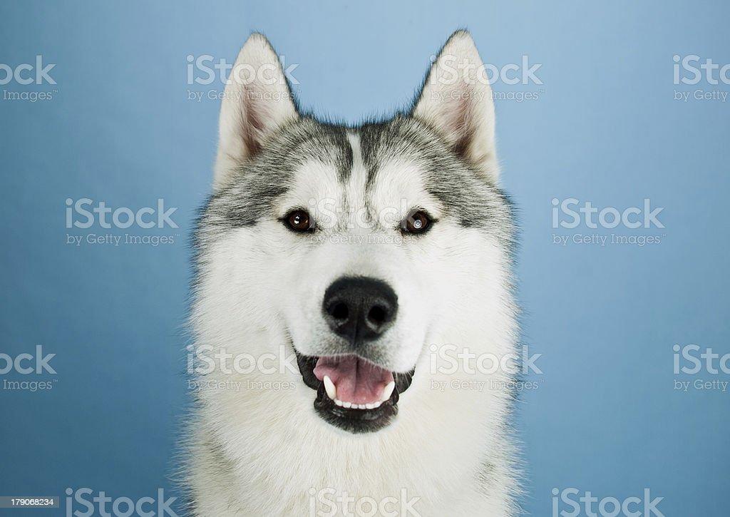 Huskies good stock photo