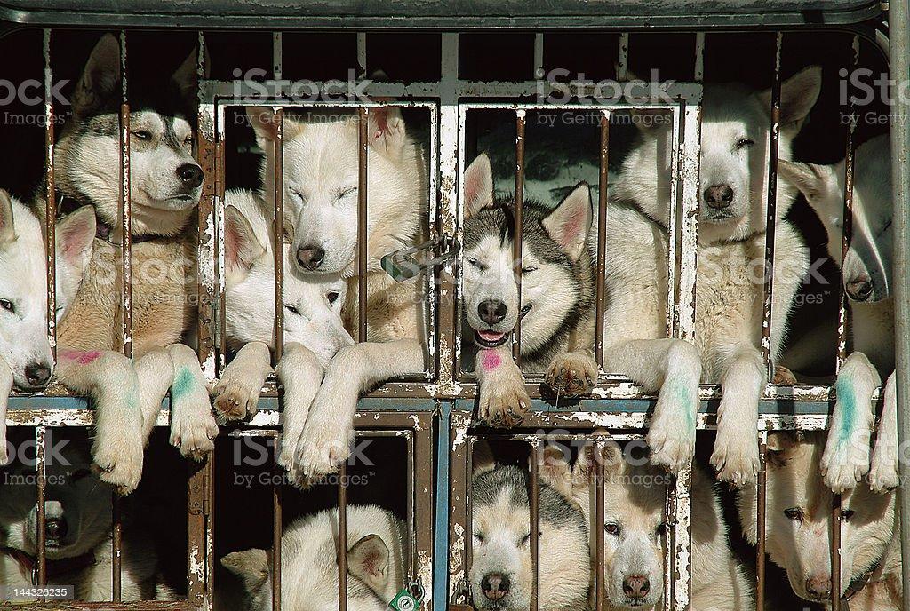 huskies stock photo
