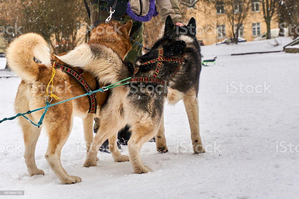 Huskies ready to start sledding stock photo