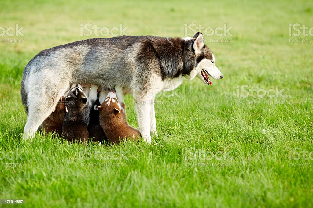 Husky and her children royalty-free stock photo