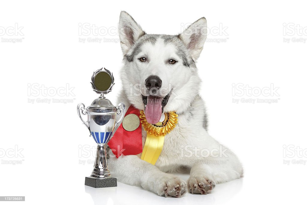 Husky champion stock photo