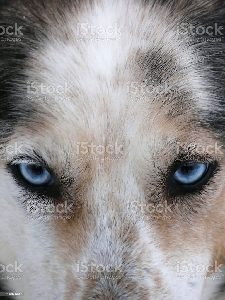 Husky dog blue eyes royalty-free stock photo