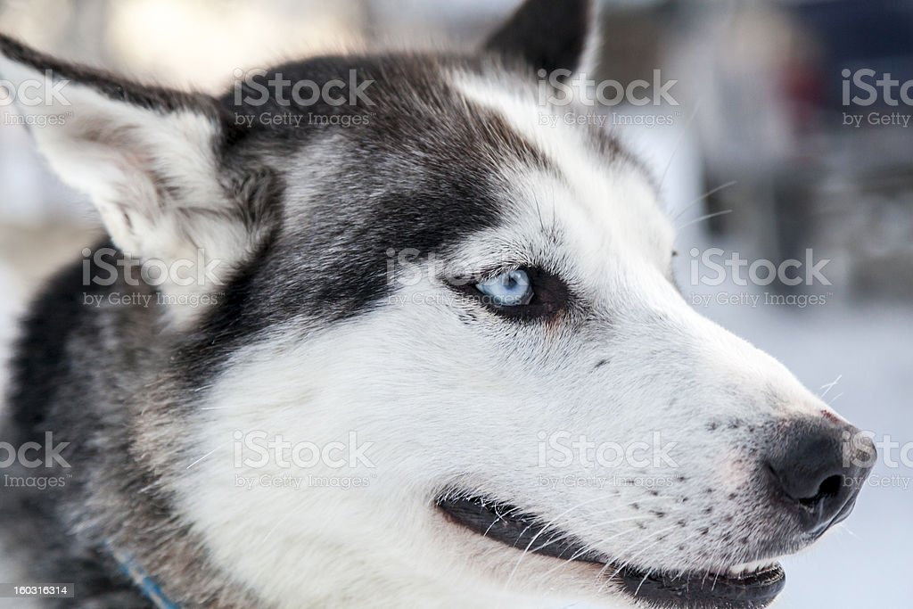 Husky dog close up in Lapland, Finland royalty-free stock photo