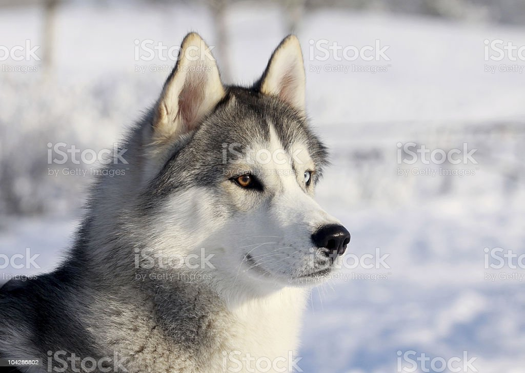 Husky dog in a snow covered winter landscape stock photo