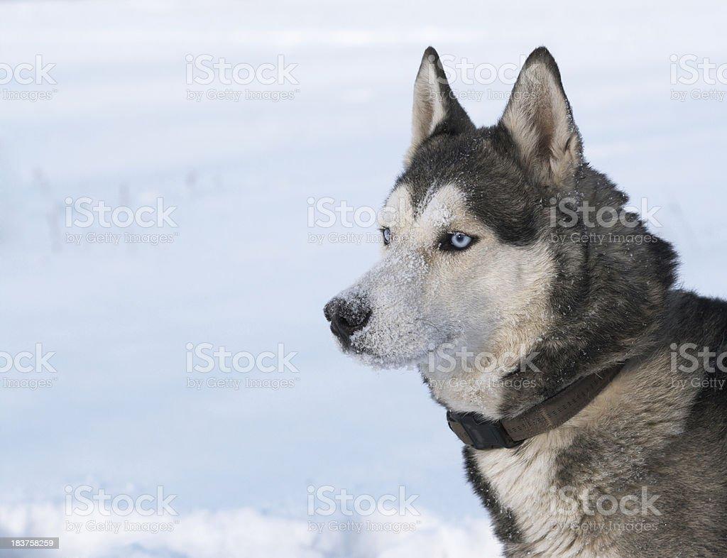 Husky dog portrait royalty-free stock photo