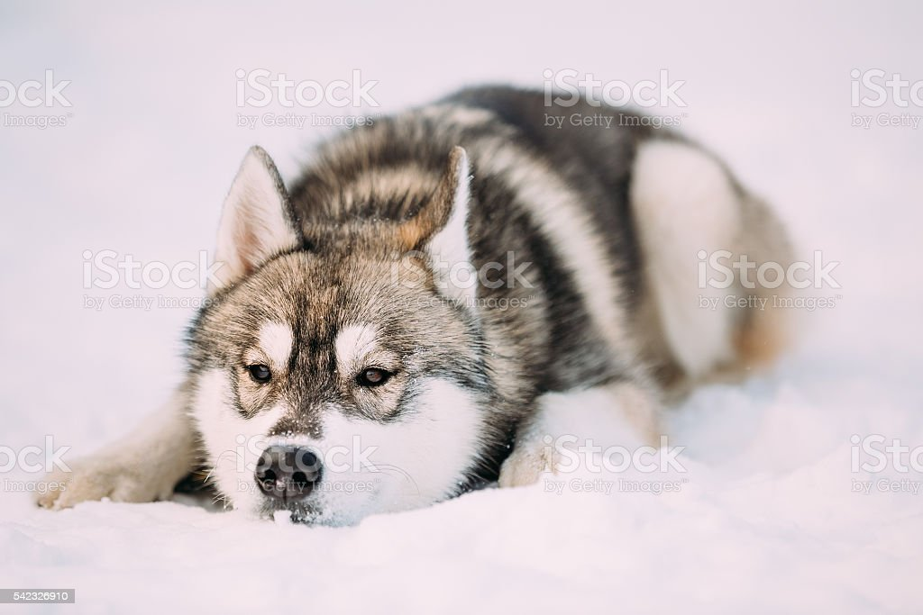 Husky Dog Sit In Snow. Winter stock photo