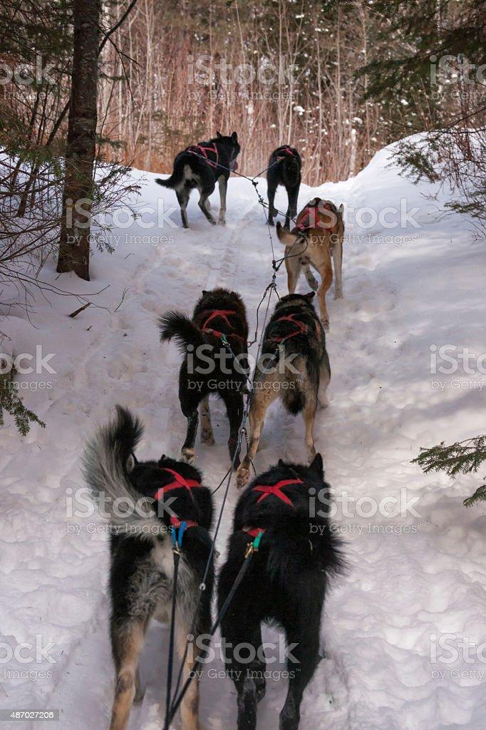 Husky dog teamwork stock photo