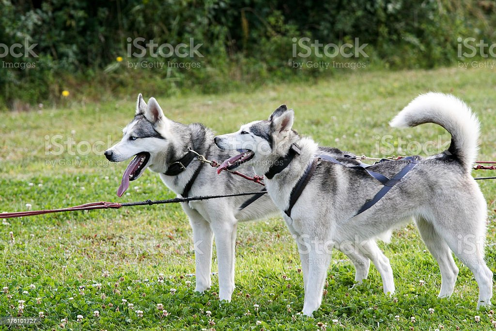 Husky Dogs royalty-free stock photo