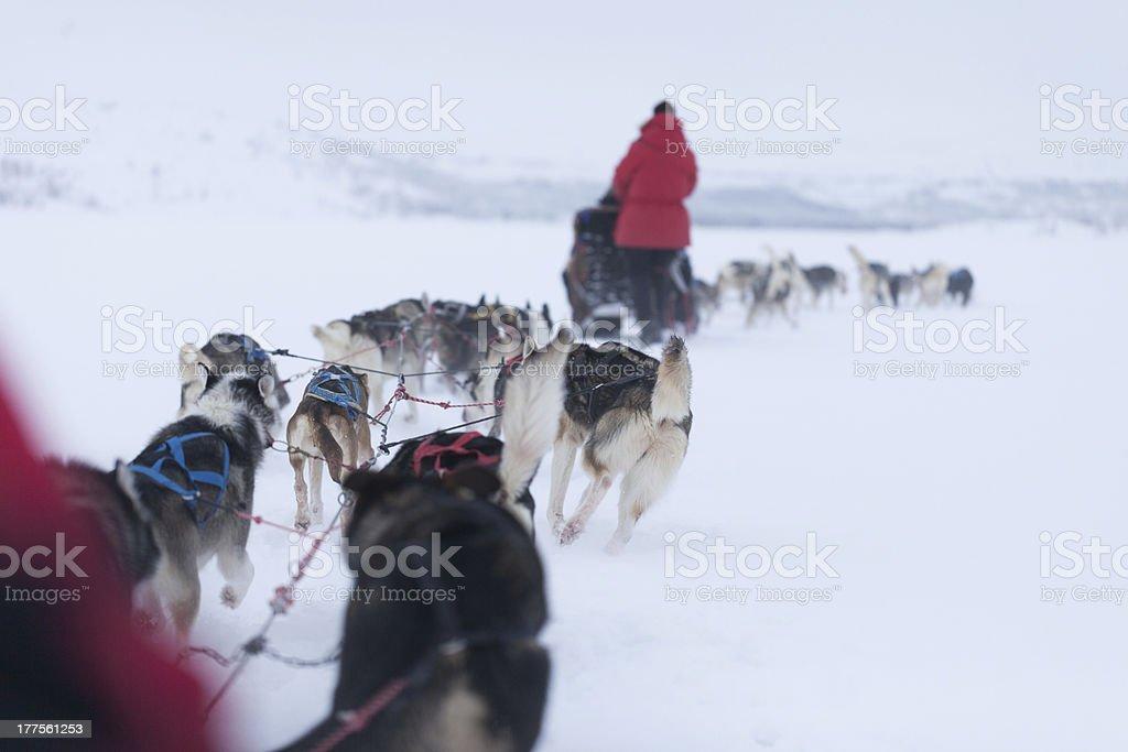 Husky dogs racing royalty-free stock photo