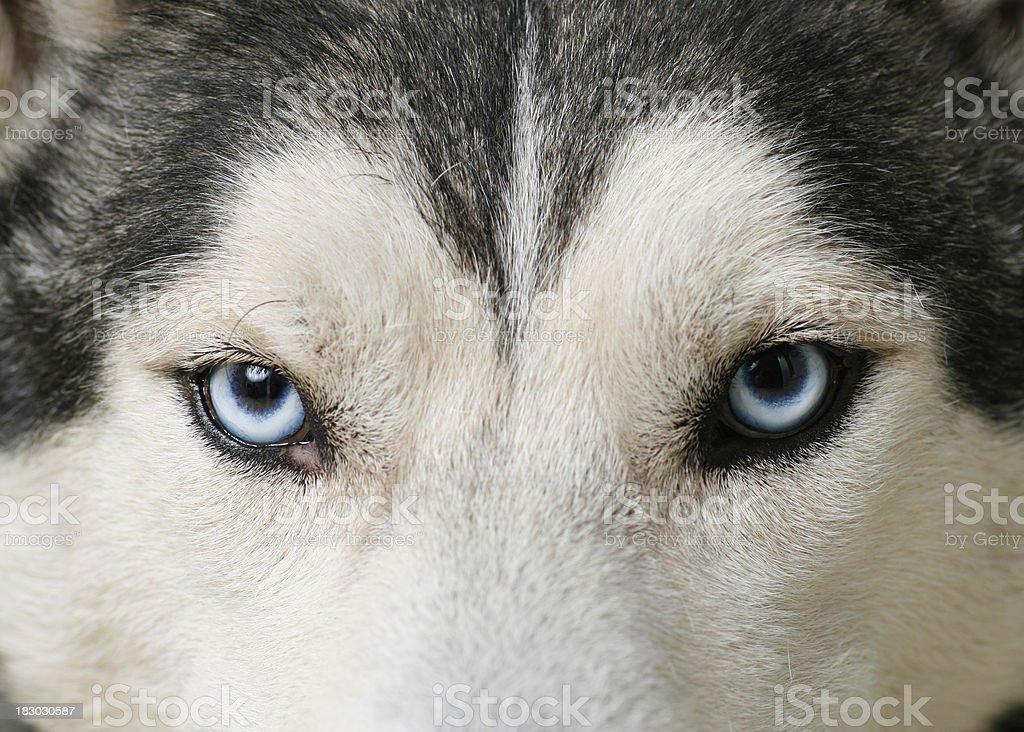 Husky eyes stock photo