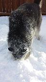 Husky face in snow