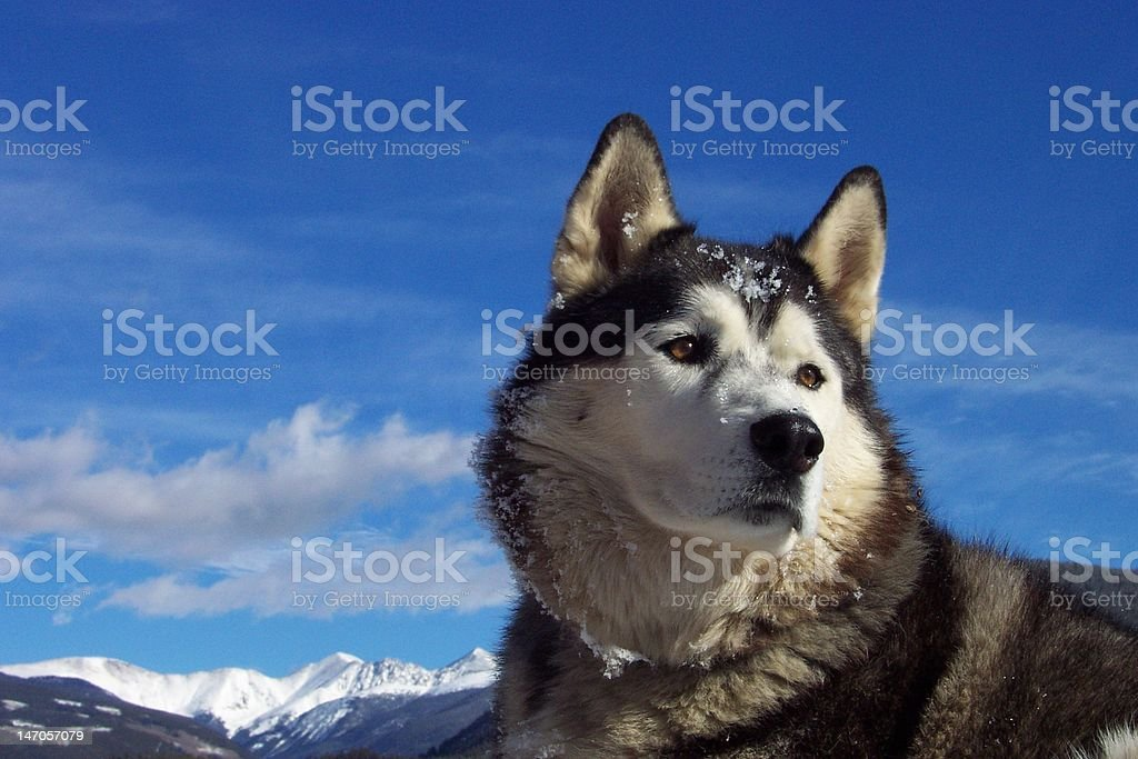 Husky Heaven stock photo
