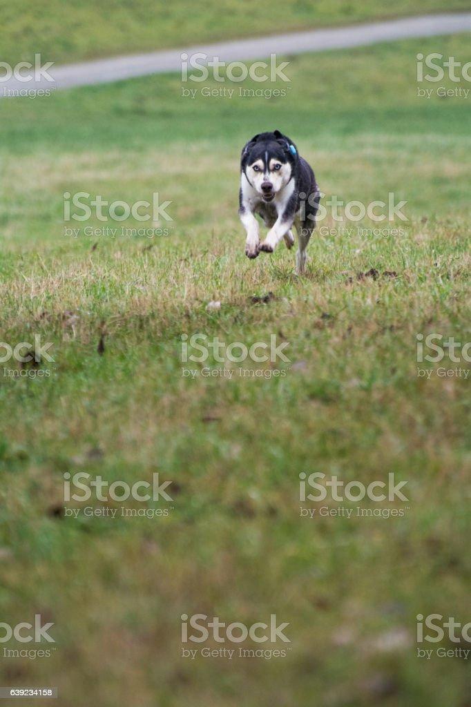 Husky im Spurt stock photo