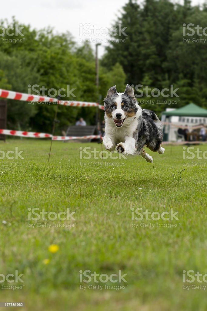 Husky in action stock photo