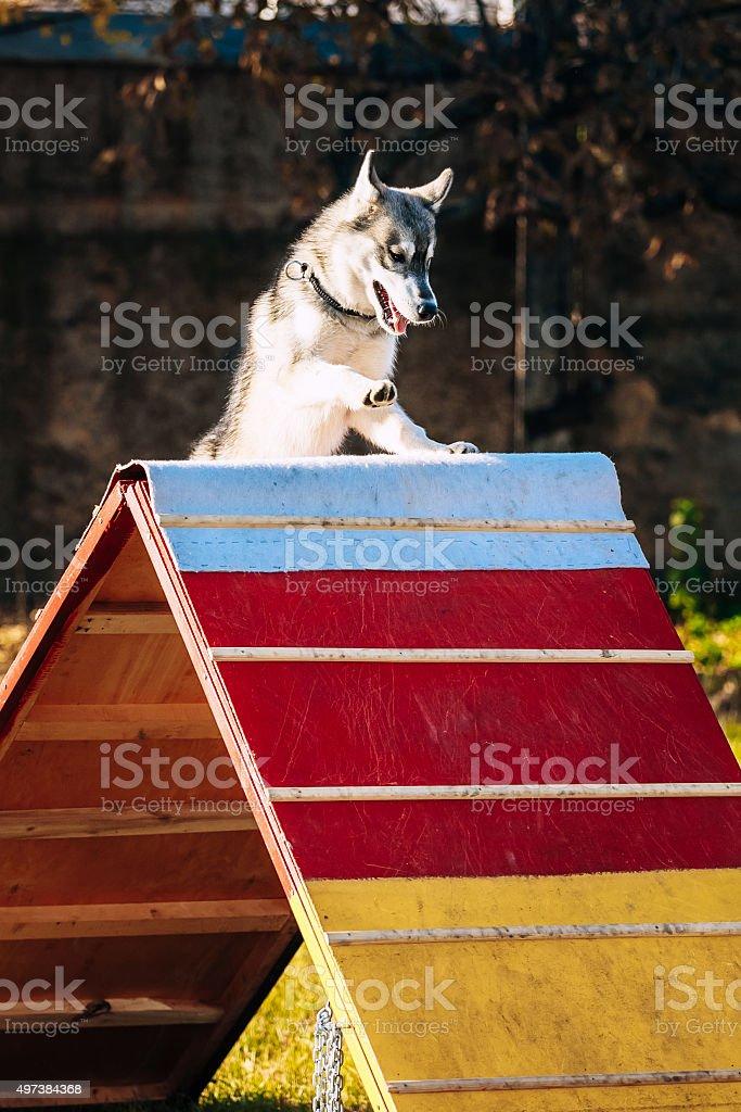 Husky in Dog agility, dog sport stock photo