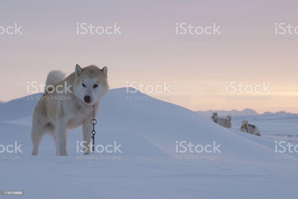 Husky in Greenland royalty-free stock photo