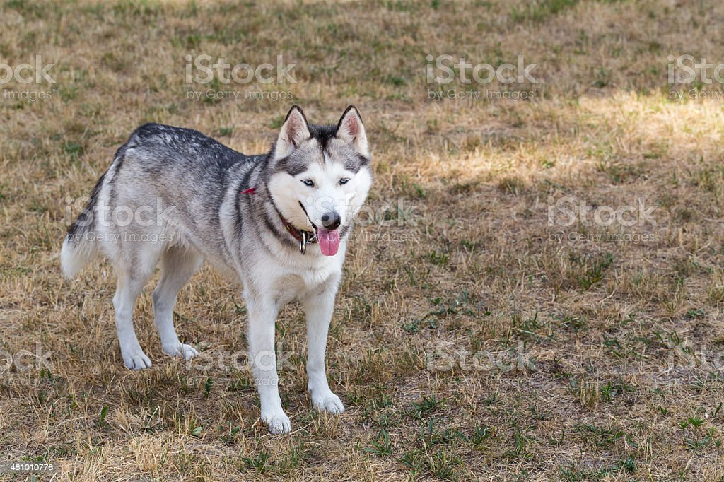 Husky is walking in the park. stock photo