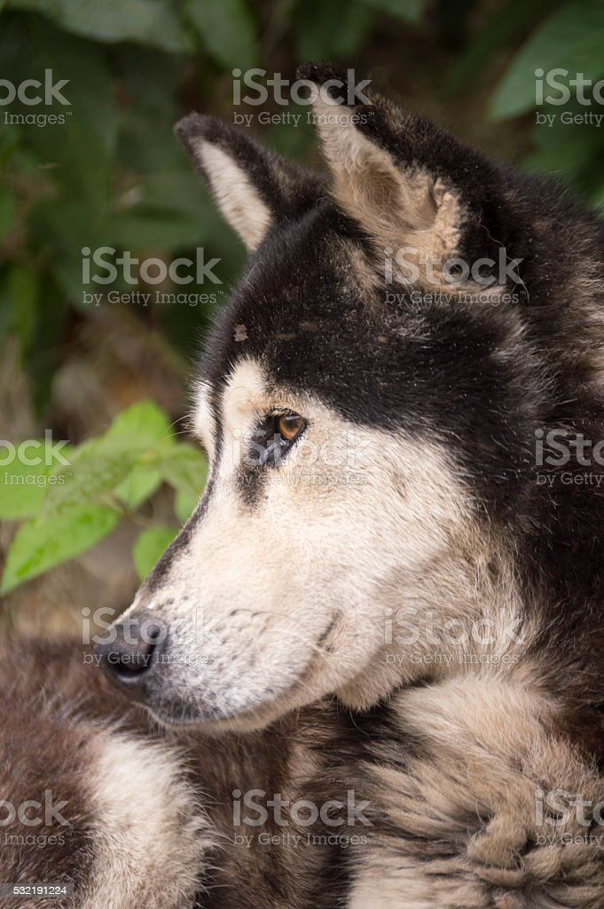 Husky looking to the left side... stock photo