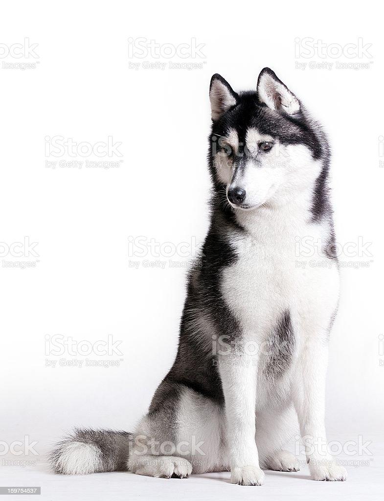 Husky on white stock photo