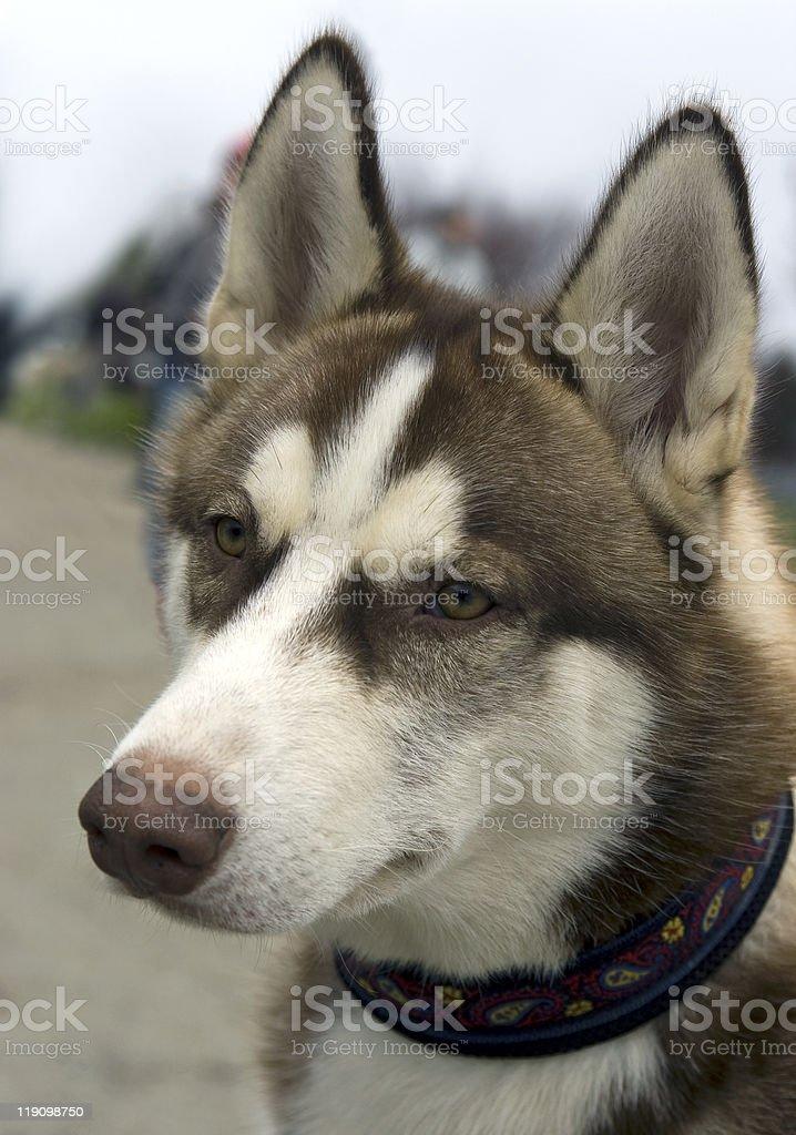 husky stock photo