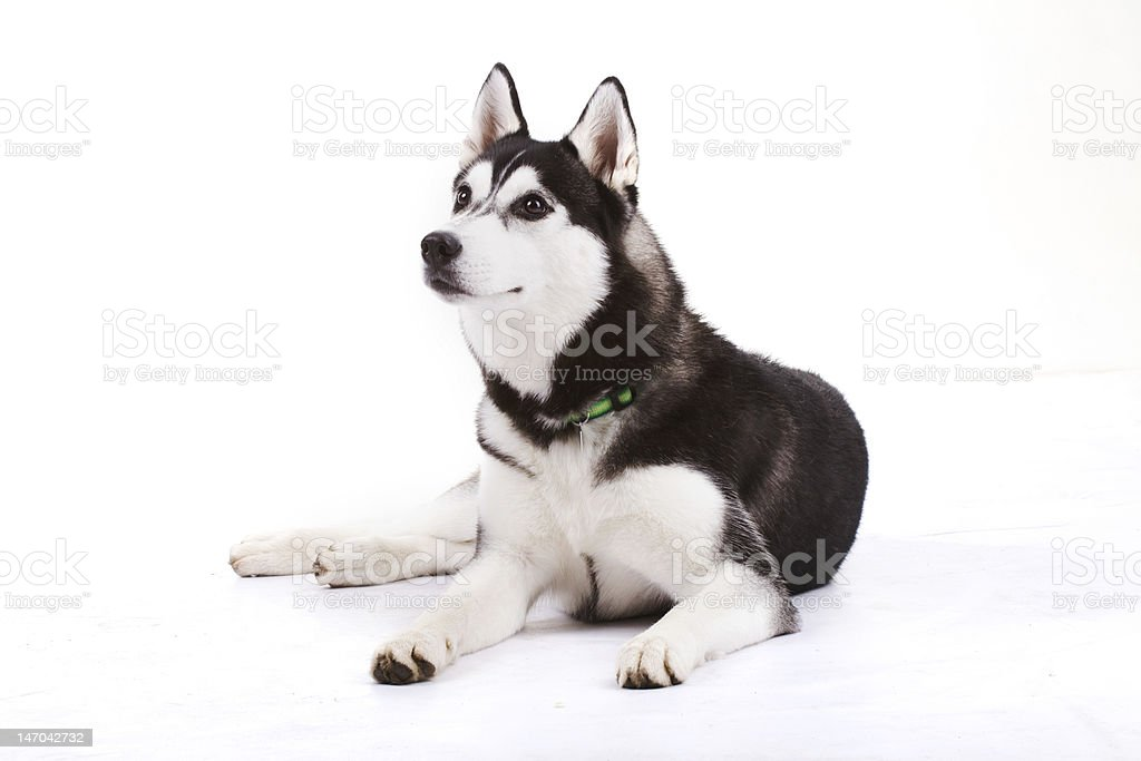 husky royalty-free stock photo