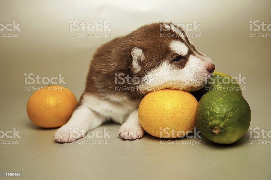 husky Lizenzfreies stock-foto