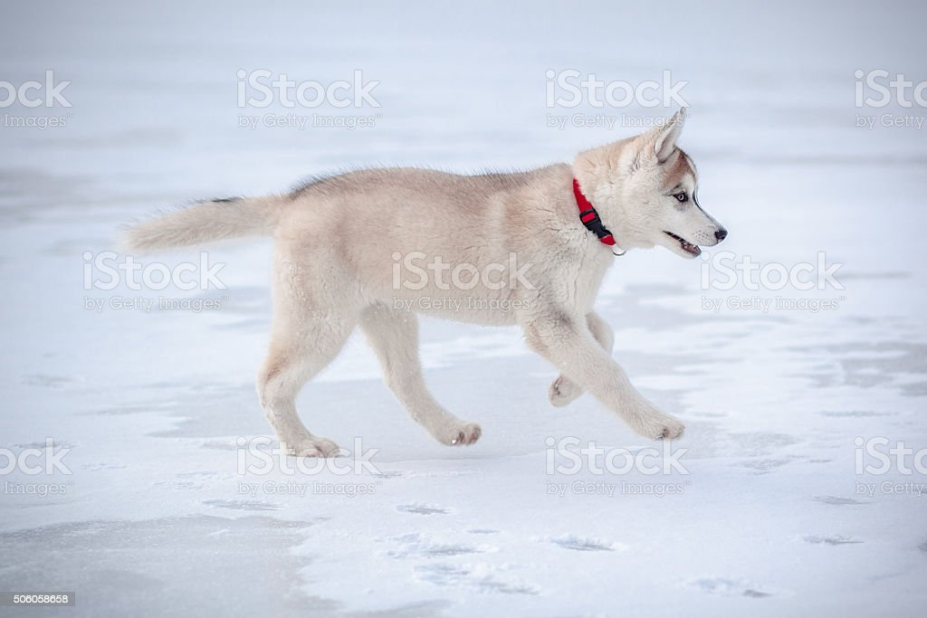 Husky Puppy 3 months stock photo