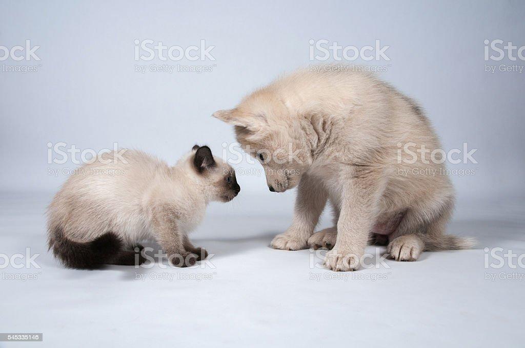 Husky Puppy and Kitty stock photo