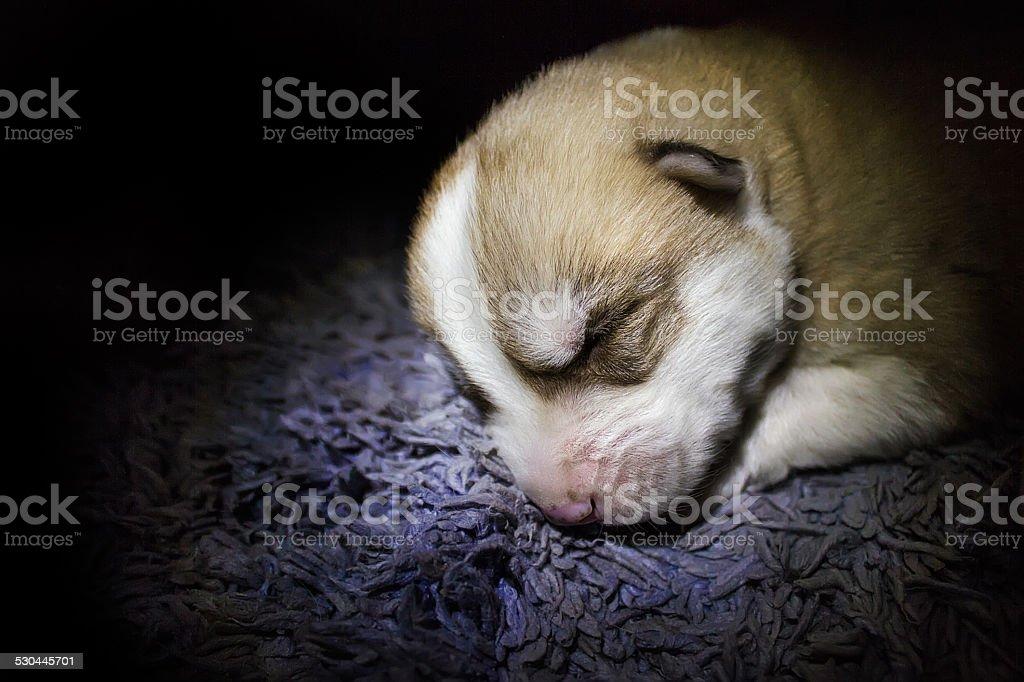 Husky cachorro foto de stock libre de derechos