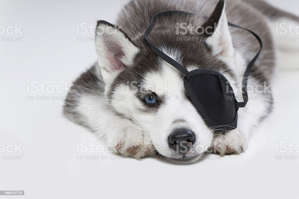 Husky Puppy with Eye Patch stock photo
