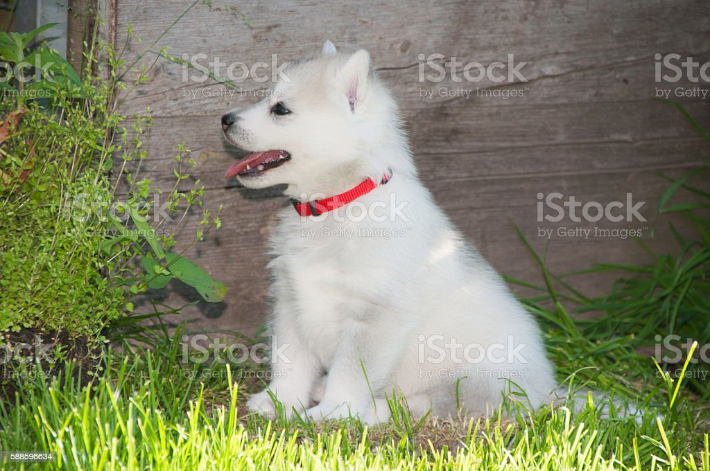 Husky puppy with white fur stock photo