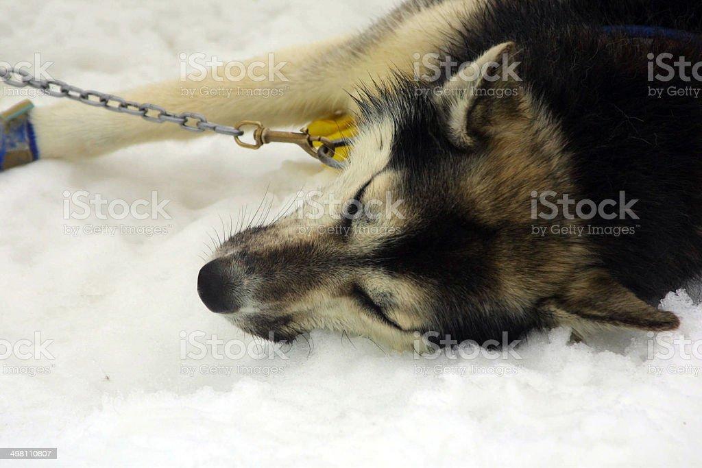 Husky resting after Sledge run, Norris Glacier, Juneau, Alaska royalty-free stock photo