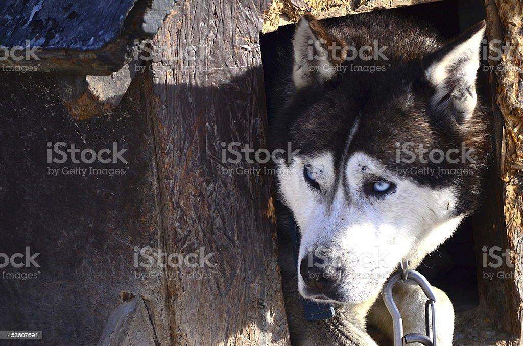 Husky sich in seiner wie zu Hause fühlen. Lizenzfreies stock-foto