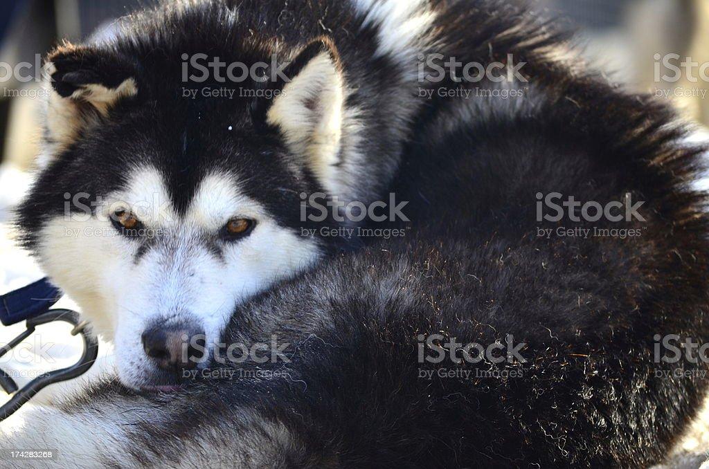 Husky Ruhen Lizenzfreies stock-foto