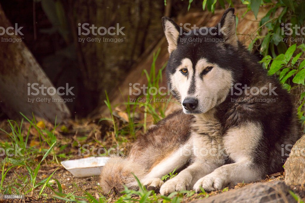 Husky sitting on the ground Looking to the front side... stock photo