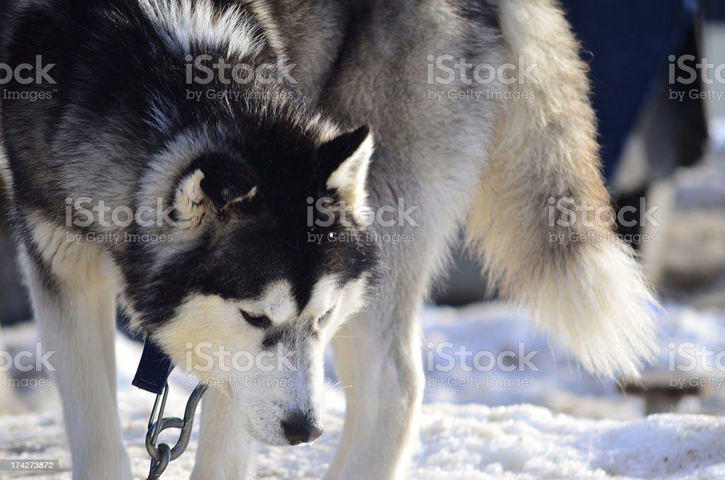 Husky gehen im Schnee. Lizenzfreies stock-foto