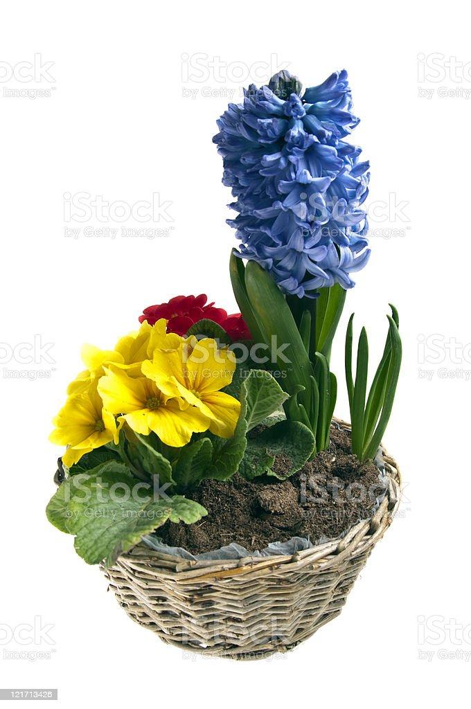 Hyacinth and primrose royalty-free stock photo