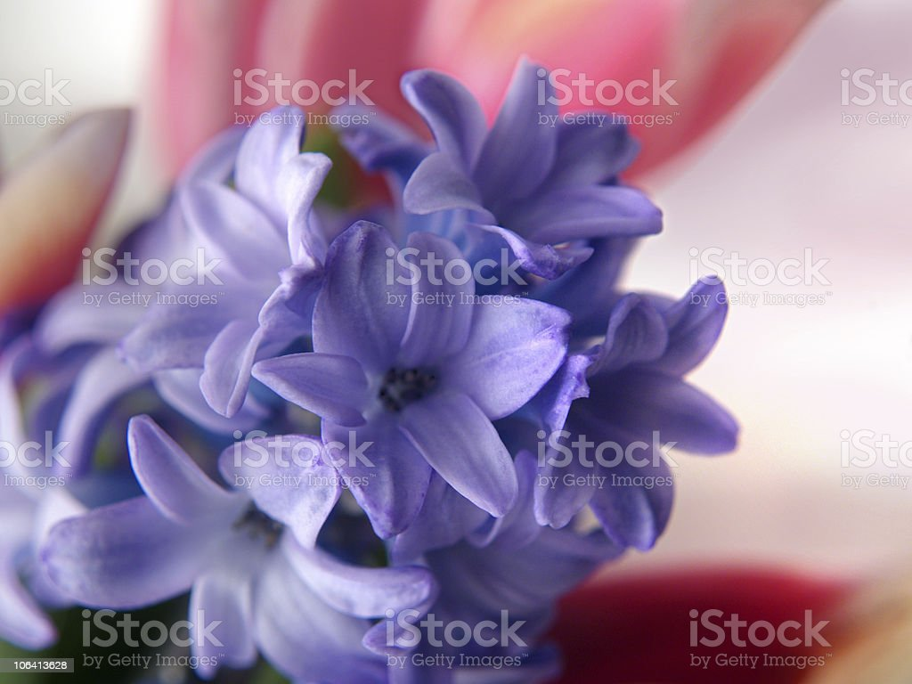 Hyacinth and Tulips stock photo
