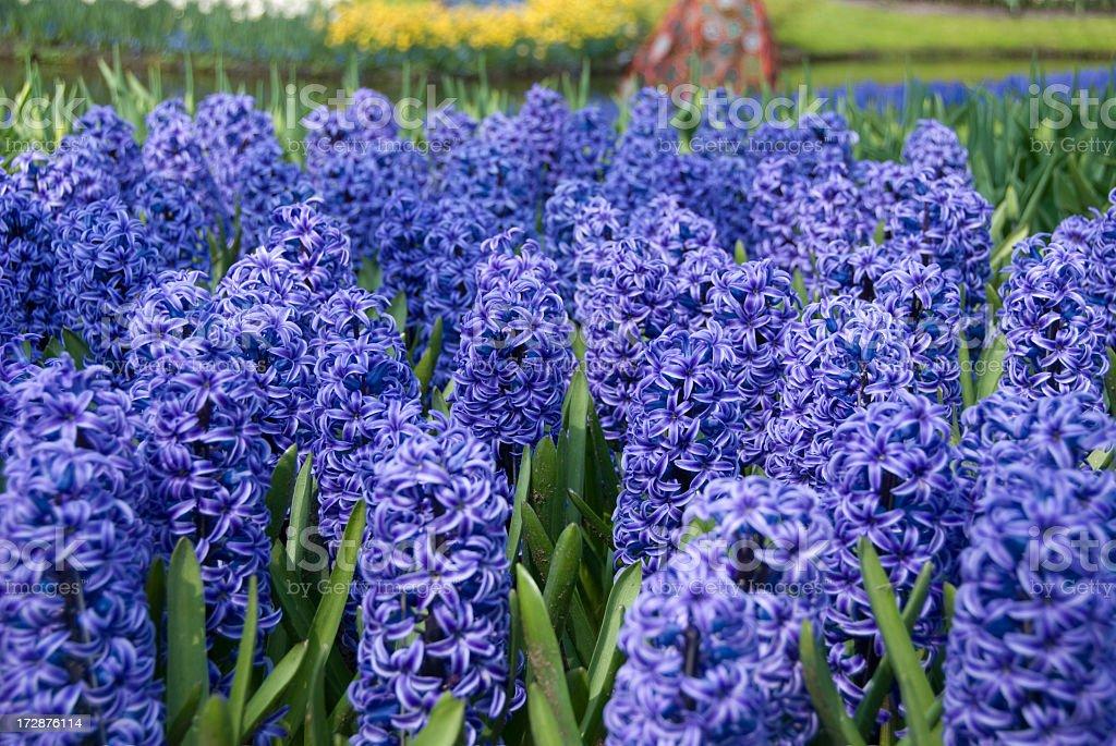 Hyacinth at the Keukenhoff Garden, Holland royalty-free stock photo