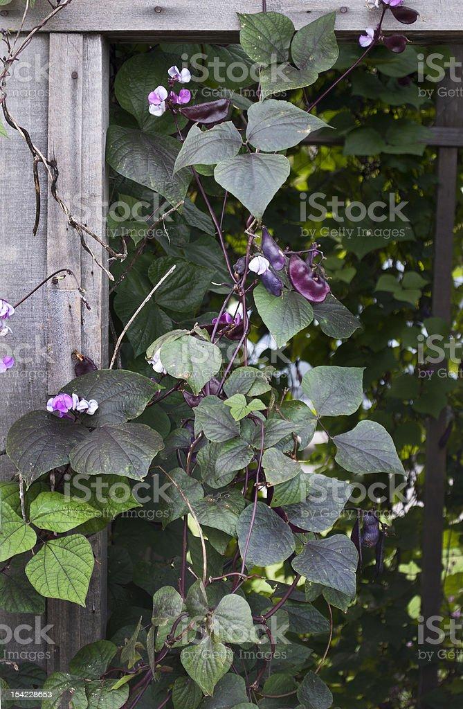 Hyacinth Bean Vine stock photo