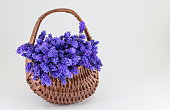 Hyacinth flowers in a basket. Romantic present