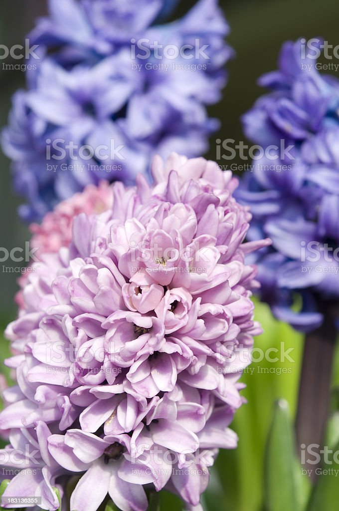 Hyacinth in a garden royalty-free stock photo