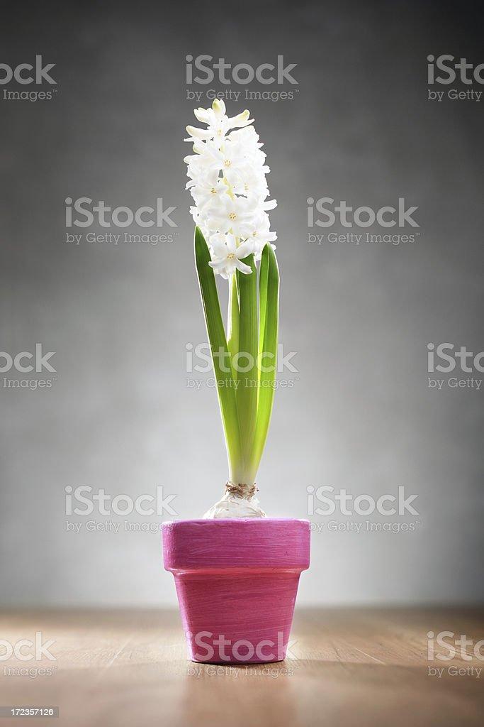 Hyacinth in pink pot royalty-free stock photo