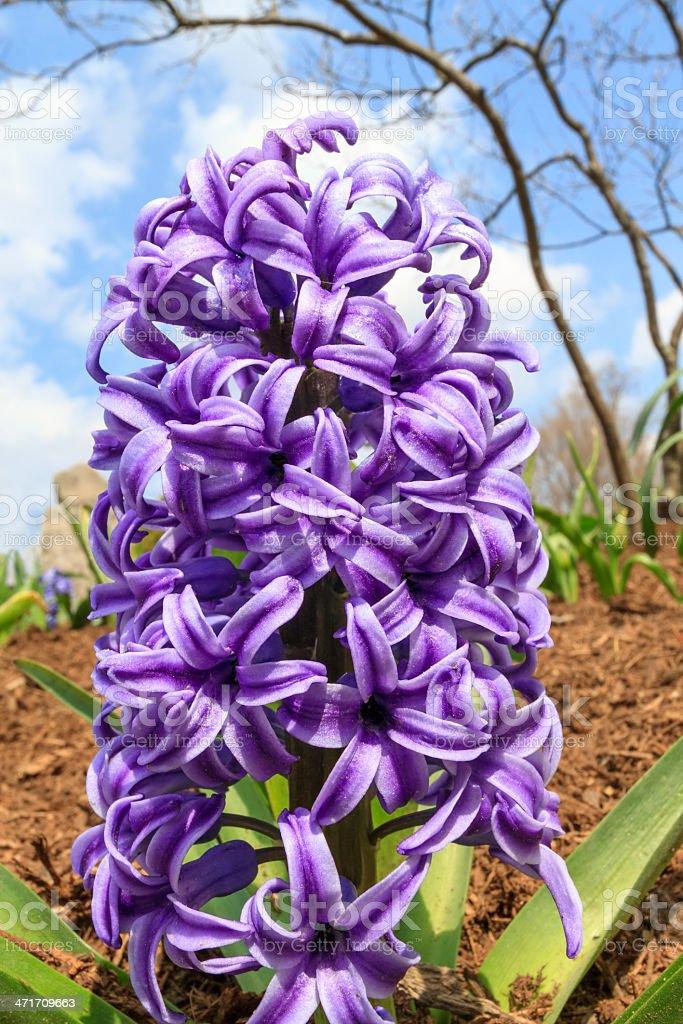 Giacinto in giardino foto stock royalty-free